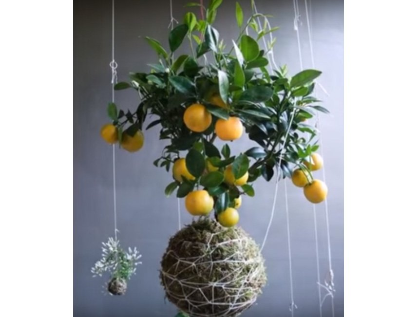 cara merawat tanaman hias metode kokedama Cara Merawat Tanaman Hias dengan Metode Kokedama