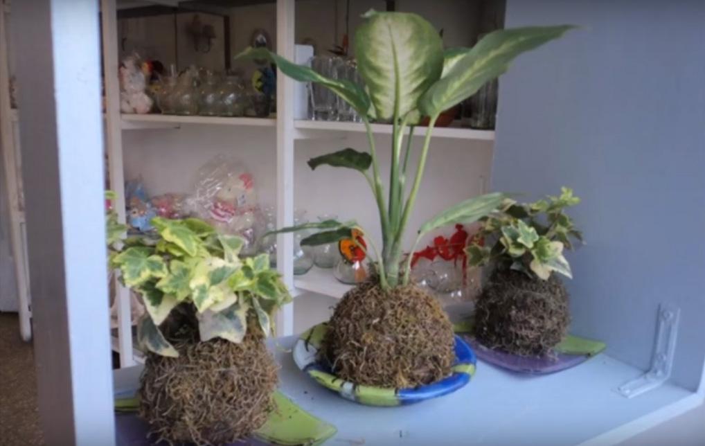 merawat tanaman hias teknik jepang kokedama Cara Merawat Tanaman Hias dengan Metode Kokedama